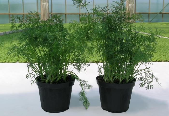 Ortoflora le erbe dello chef produzione piante ed erbe for Erbe aromatiche in vaso
