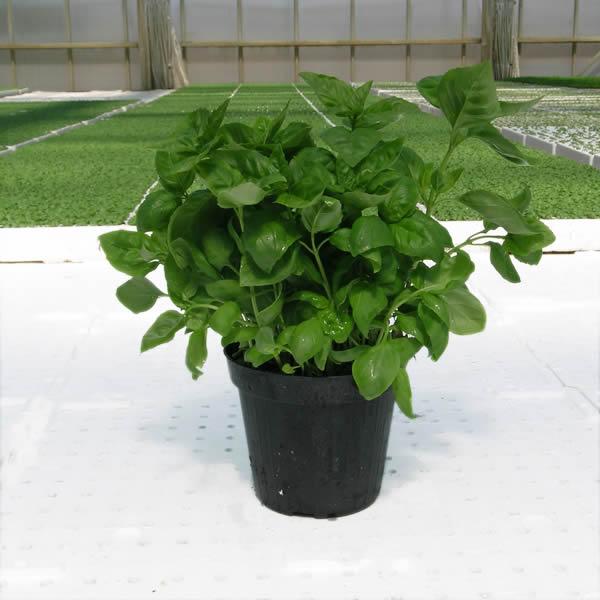 Ortoflora le erbe dello chef produzione piante ed erbe for Basilico vaso
