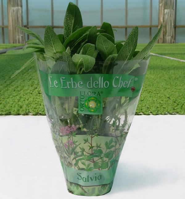 salvia in vaso ortoflora le erbe dello chef produzione piante ed erbe